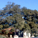 A coast live oak (Quercus agrifolia) in the initial stages of decline from Armillaria root rot.