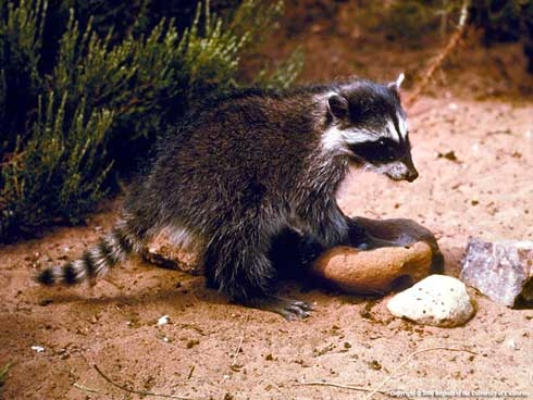A juvenile raccoon.
