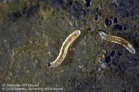 Figure 2. Fungus gnat larvae. (J.K. Clark)