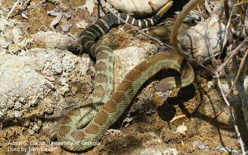 A Western rattlesnake, well camouflaged in it's surroundings. [Photo by A.G. Clause]