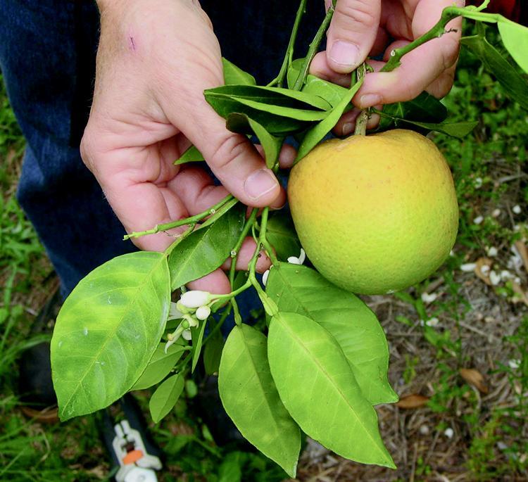 Asymmetrical Yellow Mottling Of Leaves And Odd Shape Greening Fruit Symptoms Huanglongbing