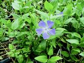 Figure 1. Periwinkle (Vinca major) is a fastgrowing,