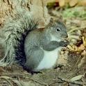 Figure 1. Western gray squirrel.