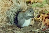 Figure 1. Western gray squirrel. (Dr. Lloyed Glenn Ingles copyright California Academy of Sciences)