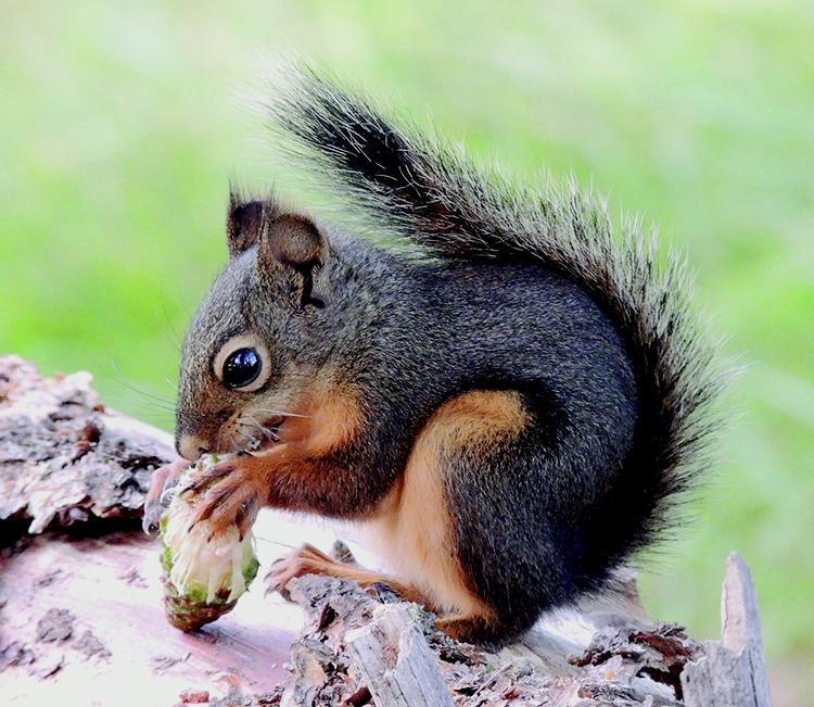 d40043b3d0 Tree Squirrels: Identification and Management - Pests in the Urban ...