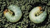 Figure 4 Masked chafer larvae (white grubs). [J.K. Clark, UC IPM]