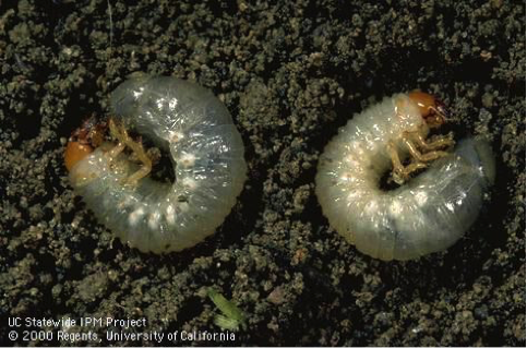Fig. 1Masked chafer grubs
