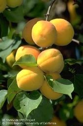 Cluster of ripe apricots [J.K.Clark]