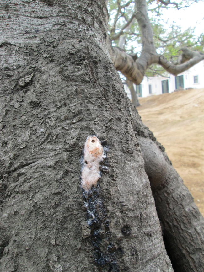 Figure 4. Foamy liquid oozing from an infected tree. [A. Eskalen, UCR]