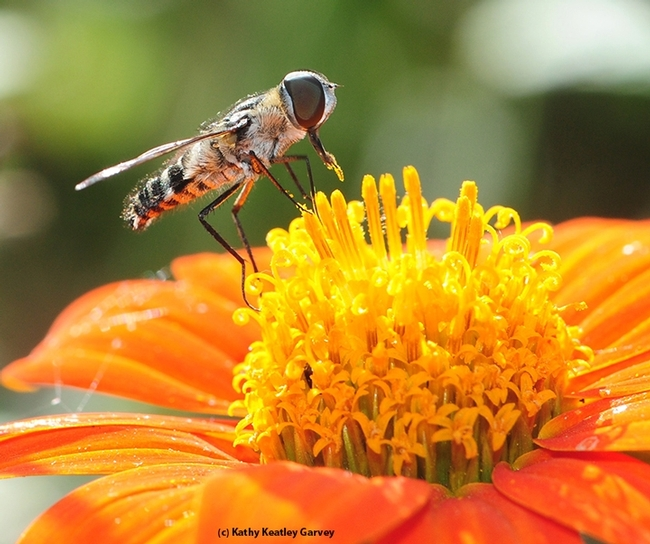 A hover fly collecting pollen on a Mexican sunflower (Tithonia). [K. K.Garvey]