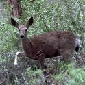 Mule deer. [W.P.Gorenzel]