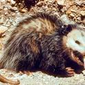 Adult opossum. [L. Fitzhugh]