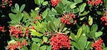 Toyon shrub. [J.K.Clark] for Pests in the Urban Landscape Blog