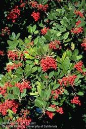 Toyon shrub. [J.K.Clark]