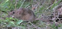 House mouse. [J.K.Clark] for Pests in the Urban Landscape Blog