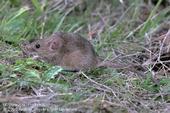 House mouse. [J.K.Clark]