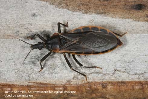 Adult conenose bug, Triatoma rubida.