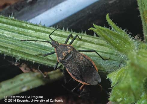 Adult squash bug, a plant pest.