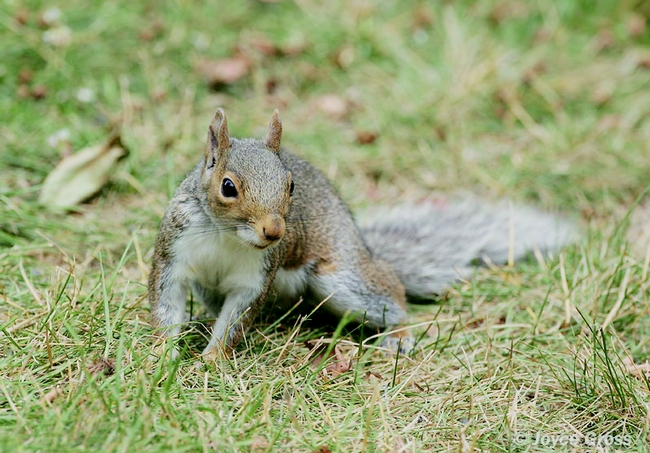 Eastern gray squirrel. [J.Gross]