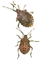 Brown marmorated stink bug adult (top) and nymph (bottom). [A. Ausmus]
