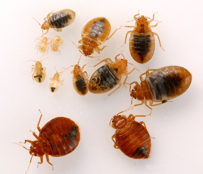 Adults and nymphs of bed bugs.