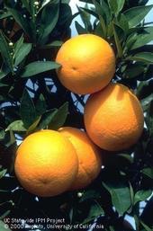 Citrus fruit. [J.K. Clark]