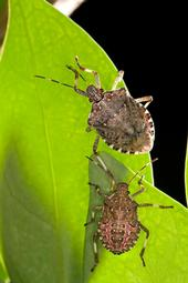 Brown marmorated stink bugs. [USDA]