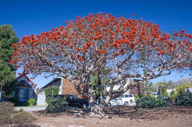 Coral Trees In California At Risk Pests In The Urban