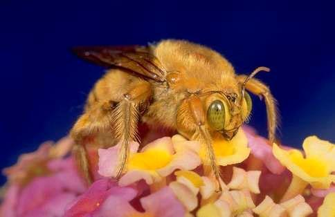Male carpenter bee. [R.S. Vetter]