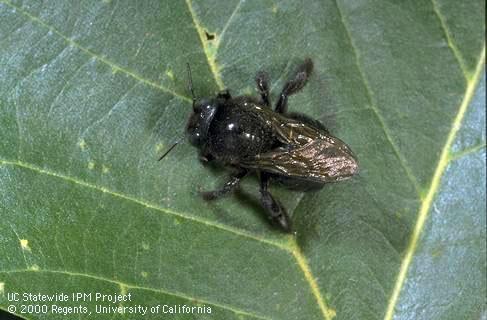 Female carpenter bee. [J.K.Clark]