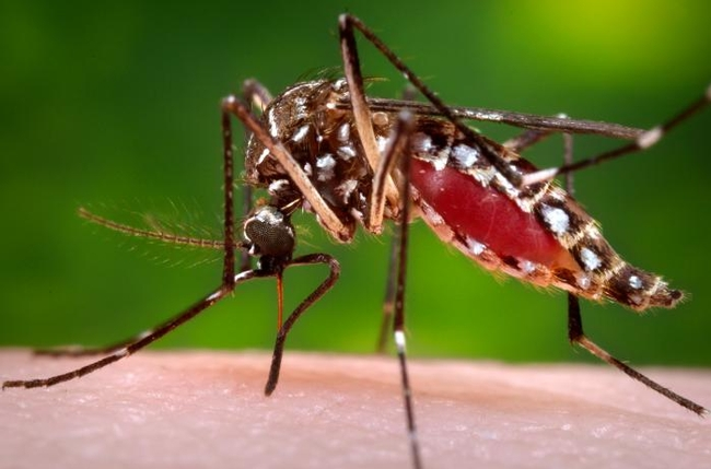 Adult female mosquit, Aedes aegypti. [J. Gathany, CDC.]
