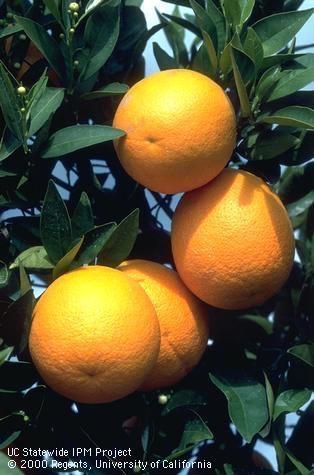 Oranges on tree. [J.K.Clark]