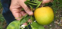 HLB symptoms on citrus for Pests in the Urban Landscape Blog