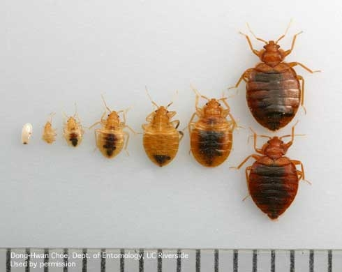 Egg, five nymphal stages, and adult bed bugs, Cimex lectularius. {D.W.Choe] for Pests in the Urban Landscape Blog