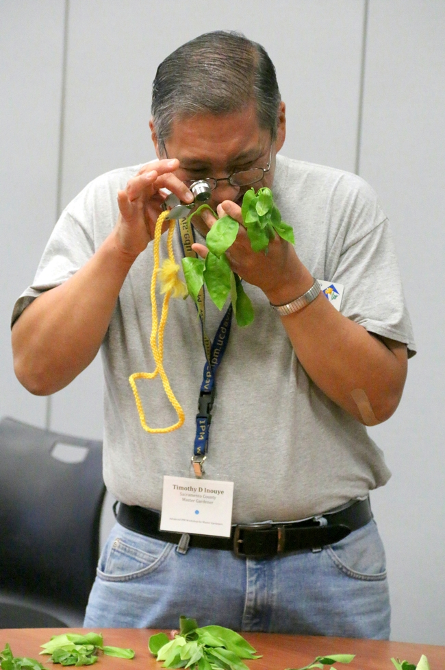 Examining citrus flush for Asian citrus psyllid. [Photo by Marcy Sousa]