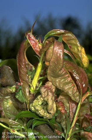 Foliage damaged by peach leaf curl. [J.K.Clark]