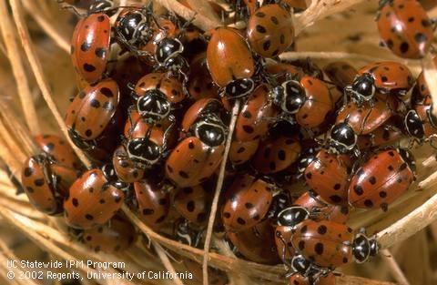 Adult overwintering convergent lady beetles. [J.K.Clark]