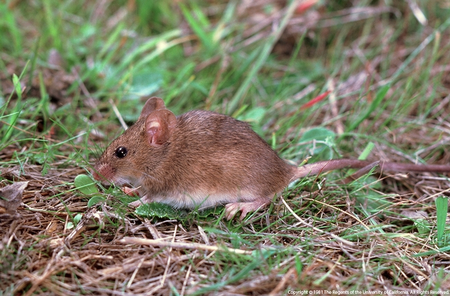 House mice can be pests in chicken coops. [UC ANR]