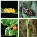 Lady beetle life cycle (clockwise) eggs, larva, pupa, adult.