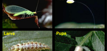 Green lacewing life cycle. [J.K. Clark] for Pests in the Urban Landscape Blog