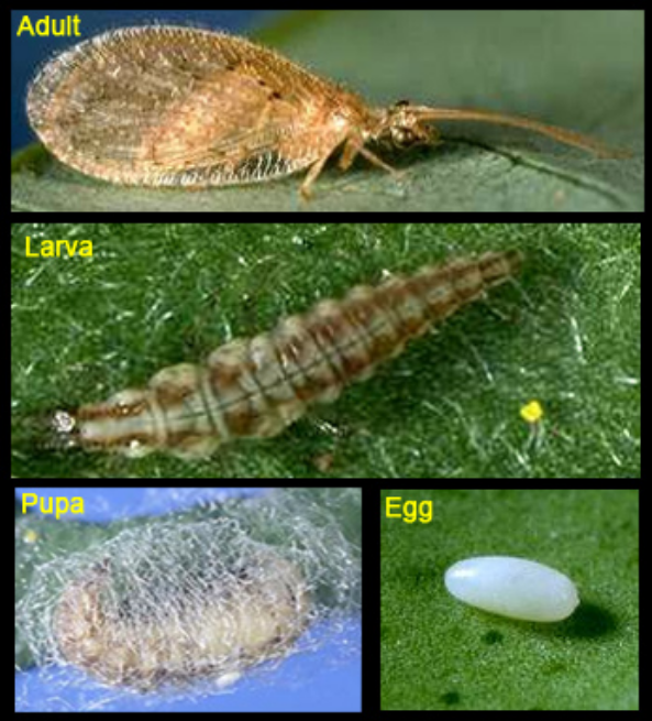 Brown lacewing life cycle. [J.K. Clark]