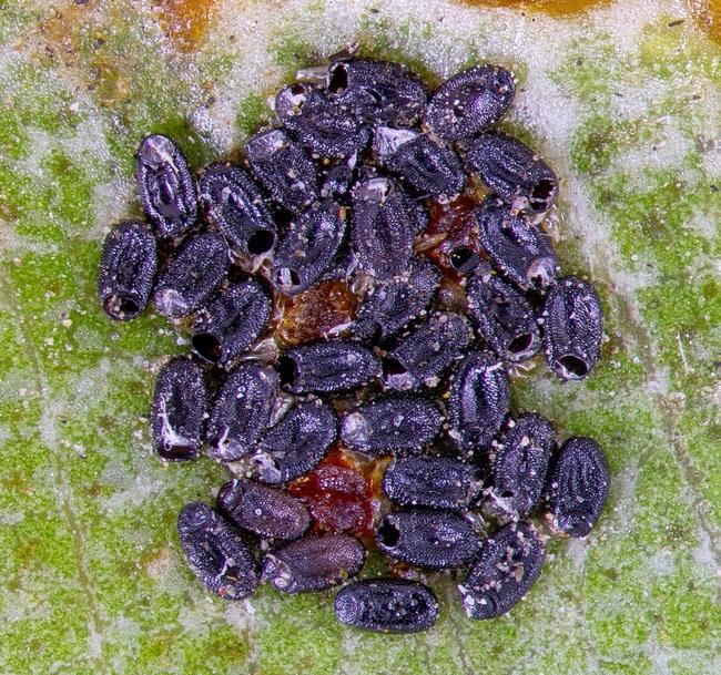Fig 3. Bronze bug egg cluster. [D. R. Hodel]