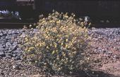 Yellow starthistle plant. (J. M. DiTomaso)