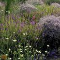 Garden plants providing nectar and pollen for natural enemies and pollinators. (Photo: Ellen Zagory)