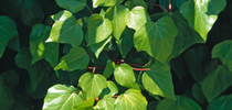 Algerian ivy. (Joseph M. DiTomaso) for Pests in the Urban Landscape Blog