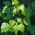 Algerian ivy. (Joseph M. DiTomaso)