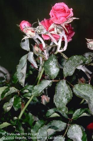 Powdery mildew on rose. (Jack Kelly Clark)
