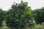 Leaf yellowing in one-quarter of citrus tree canopy due to huanglongbing. (M.E. Rogers)