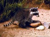 Juvenile racoon. (L. Fitzhugh)