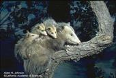 Adult female opossum, with young on her back. (Alden M. Johnson, California Academy of Sciences)